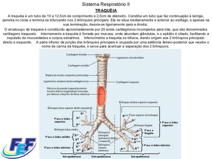 Sistema Respiratório II TRAQUÉIA A traquéia é um tubo de 10 a 12,5cm de comprimento e 2,5cm de diâmetro. Constitui um tubo...