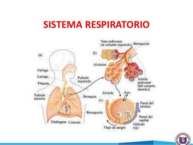 Sistema respiratorio p