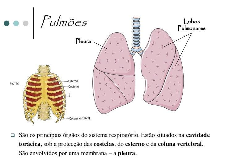 Alvéolos Pulmonares                                                Alvéolos                    Bronquíolos                ...