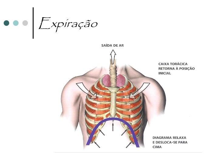 ExpiraçãoRelaxamento do diafragma e     O diafragma sobe, as dos músculos intercostais   costelas e o esterno descem      ...