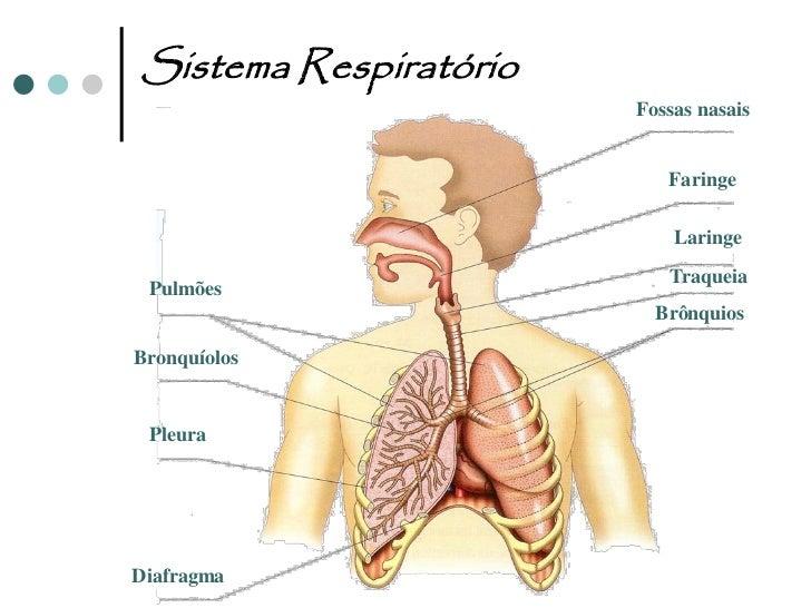 Sistema RespiratórioPulmões             Vias Respiratórias                                  Fossas Nasais                 ...