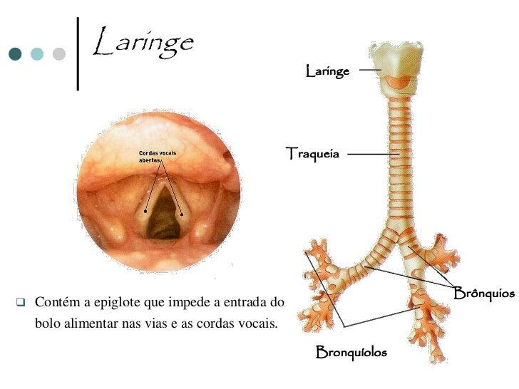 Traqueia                                           Traqueia         Parede interna da traqueia      evidenciando os cílios...