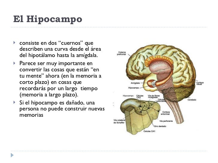 Hipocampo: funciones y estructura del órgano de la memoria