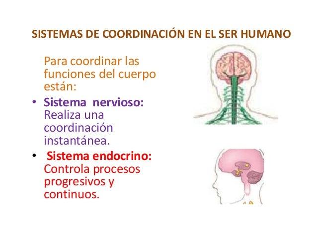 SISTEMAS DE COORDINACIÓN EN EL SER HUMANO Para coordinar las funciones del cuerpo están: • Sistema nervioso: Realiza una c...