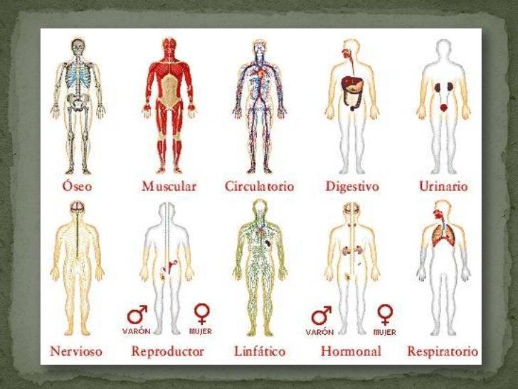 Organos internos del cuerpo related keywords organos for Interior del cuerpo humano