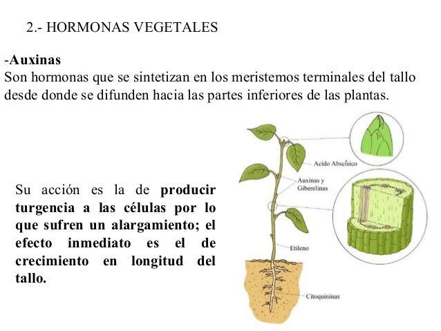 Sistemas de relacion en vegetales for Hormonas en las plantas
