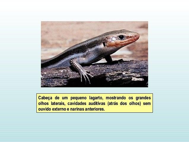 Cabeça de um pequeno lagarto, mostrando os grandesCabeça de um pequeno lagarto, mostrando os grandes olhos laterais, cavid...