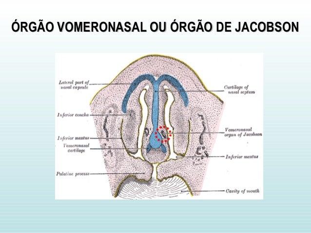 ÓRGÃO VOMERONASAL OU ÓRGÃO DE JACOBSONÓRGÃO VOMERONASAL OU ÓRGÃO DE JACOBSON