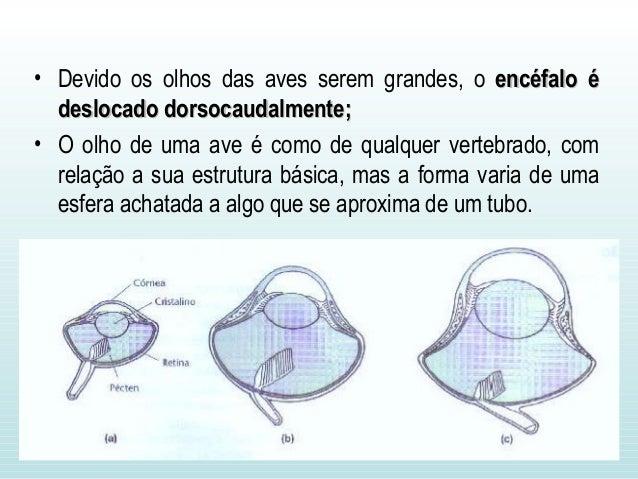 • Devido os olhos das aves serem grandes, o encéfalo éencéfalo é deslocado dorsocaudalmente;deslocado dorsocaudalmente; • ...