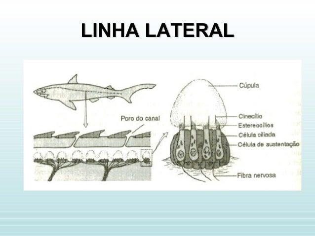 LINHA LATERALLINHA LATERAL