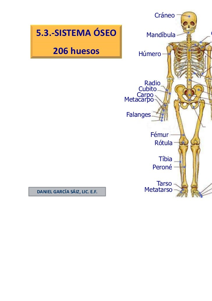 Cráneo5.3.-SISTEMA ÓSEO                     Mandíbula      Clavícula       206 huesos                                     ...