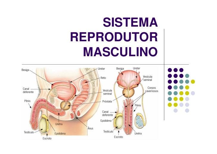 SISTEMAREPRODUTOR  MASCULINO