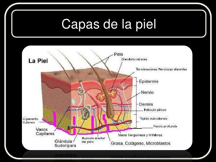 Único Capas Sistema Tegumentario Inspiración - Anatomía de Las ...