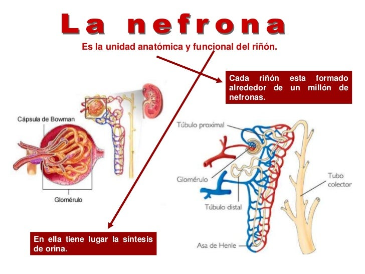Contemporáneo Anatomía Funcional Del Sistema Urinario Festooning ...