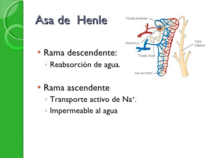 Asa de  Henle <ul><li>Rama descendente: </li></ul><ul><ul><li>Reabsorción de agua. </li></ul></ul><ul><li>Rama ascendente ...