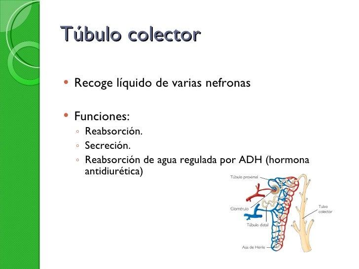 Túbulo colector <ul><li>Recoge líquido de varias nefronas </li></ul><ul><li>Funciones: </li></ul><ul><ul><li>Reabsorción. ...
