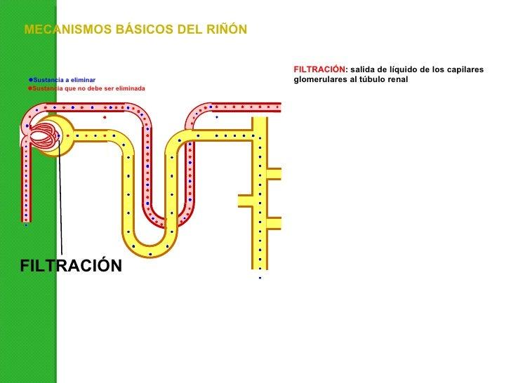 FILTRACIÓN : salida de líquido de los capilares glomerulares al túbulo renal FILTRACIÓN MECANISMOS BÁSICOS DEL RIÑÓN Susta...