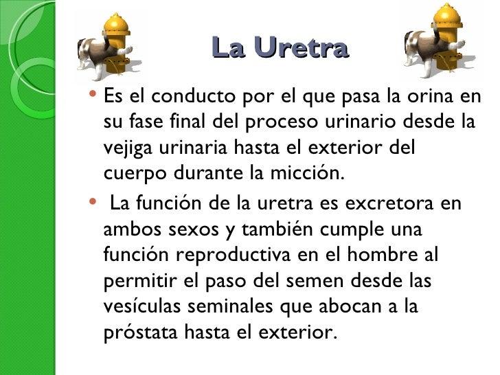 La Uretra  <ul><li>Es el conducto por el que pasa la orina en su fase final del proceso urinario desde la vejiga urinaria ...