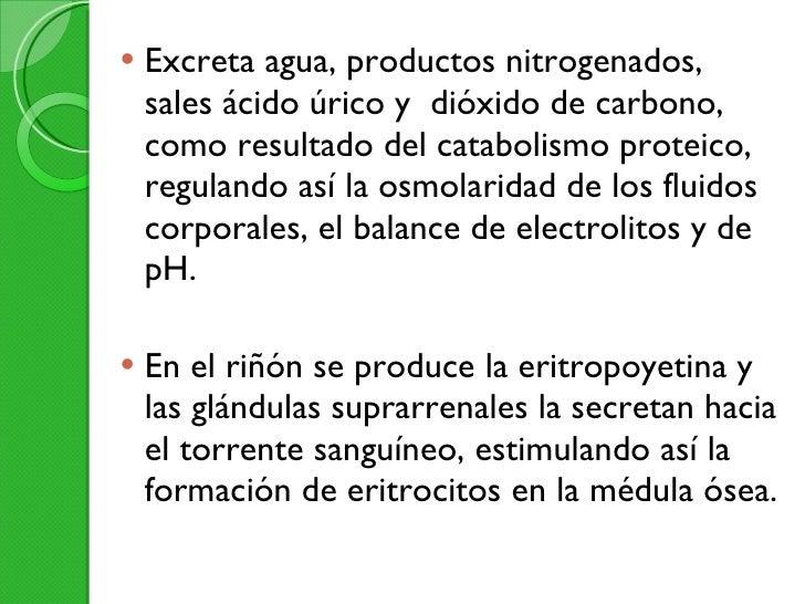<ul><li>Excreta agua, productos nitrogenados, sales ácido úrico y  dióxido de carbono, como resultado del catabolismo prot...