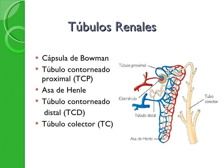 Túbulos Renales <ul><li>Cápsula de Bowman </li></ul><ul><li>Túbulo contorneado proximal (TCP) </li></ul><ul><li>Asa de Hen...