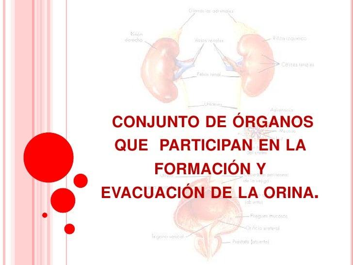 CONJUNTO DE ÓRGANOS QUE PARTICIPAN EN LA     FORMACIÓN YEVACUACIÓN DE LA ORINA.