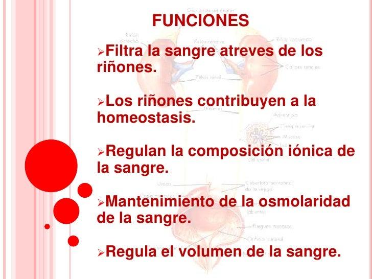 FUNCIONESFiltra      la sangre atreves de losriñones.Losriñones contribuyen a lahomeostasis.Regulan     la composición ...