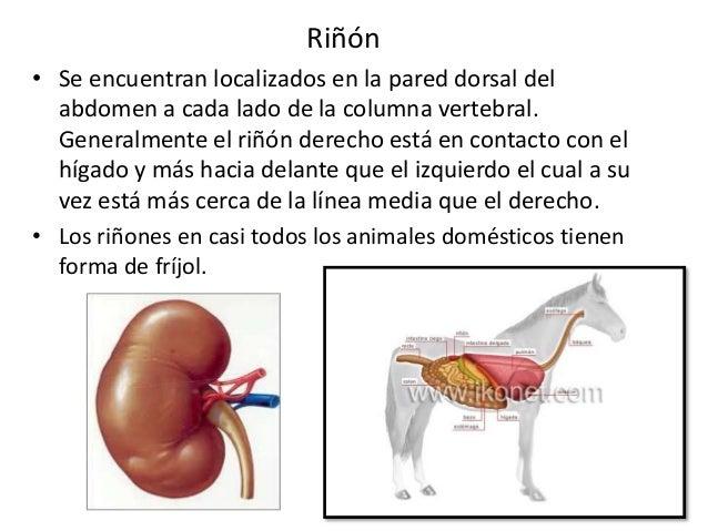 Sistema urinario 2