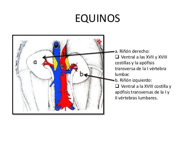 EQUINOS a. Riñón derecho:  Ventral a las XVII y XVIII costillas y la apófisis transversa de la I vértebra lumbar. b. Riñó...