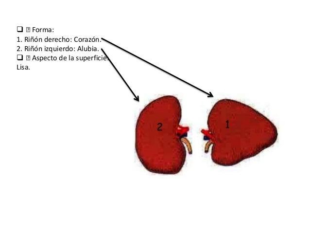  ™Forma: 1. Riñón derecho: Corazón. 2. Riñón izquierdo: Alubia.  ™Aspecto de la superficie: Lisa.