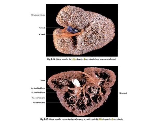 PORCINOS a. Riñones derecho e izquierdo (posición simétrica):  Ventral a las apófisis transversas de la I, II, III y IV v...