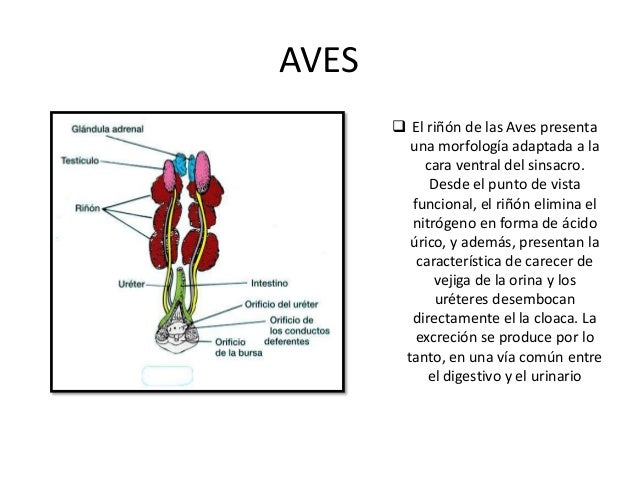 FELINOS  Los riñones son un par de órganos localizados a cada lado de la columna vertebral atrás y abajo de la ultima cost...