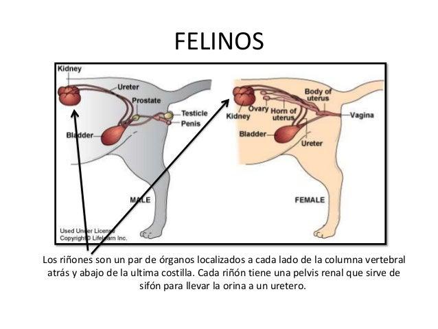 CANINOS a. Riñón derecho:  Ventral a las apófisis transversas de la I, II y III vértebras lumbares. b. Riñón izquierdo: ...