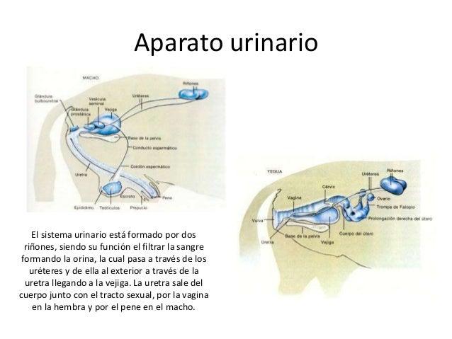 Aparato urinario  El sistema urinario está formado por dos riñones, siendo su función el filtrar la sangre formando la ori...