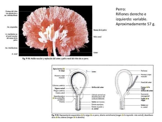 FORMACIÓN DE LA ORINA La formación de la orina tiene 4 procesos importantes: • Filtración (En condiciones normales) SE FIL...