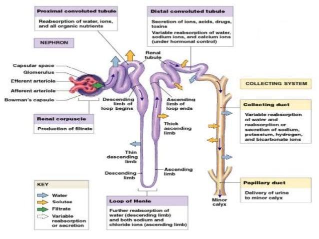 Sistema urinario animales