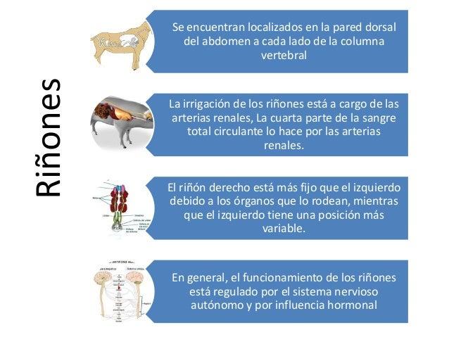 Riñones  Se encuentran localizados en la pared dorsal del abdomen a cada lado de la columna vertebral  La irrigación de lo...