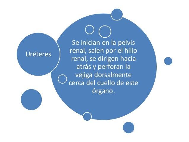 Uréteres  Se inician en la pelvis renal, salen por el hilio renal, se dirigen hacia atrás y perforan la vejiga dorsalmente...