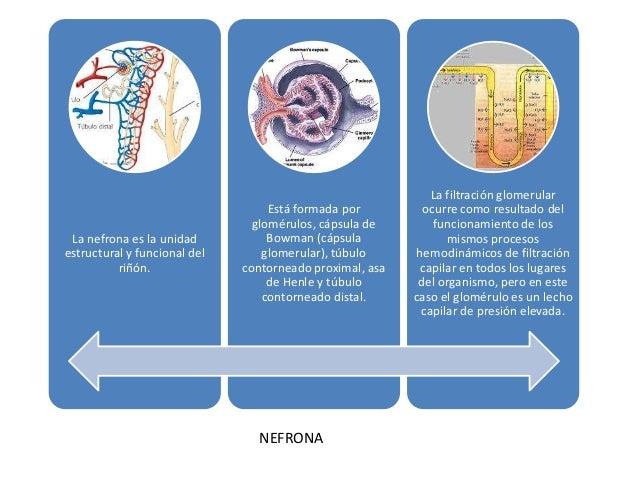 La nefrona es la unidad estructural y funcional del riñón.  Está formada por glomérulos, cápsula de Bowman (cápsula glomer...