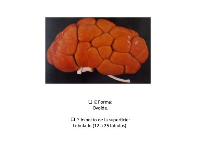 ™Forma: Ovoide.  ™Aspecto de la superficie: Lobulado (12 a 25 lóbulos).