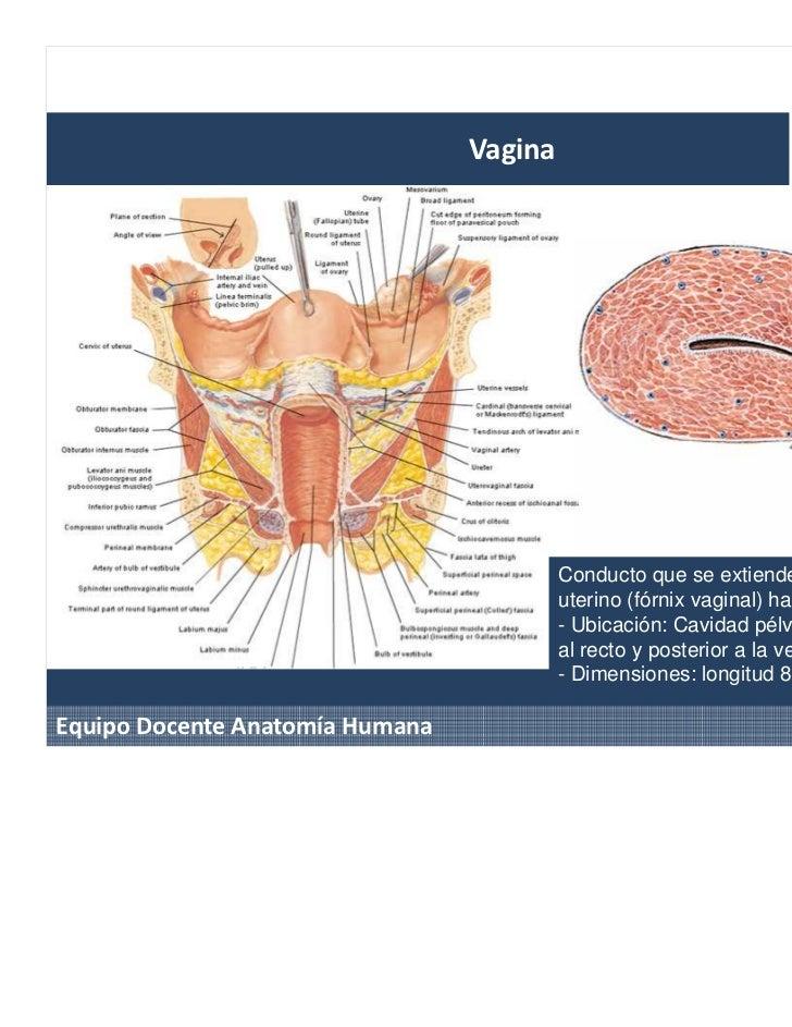 Anatomia Sistema urogenital