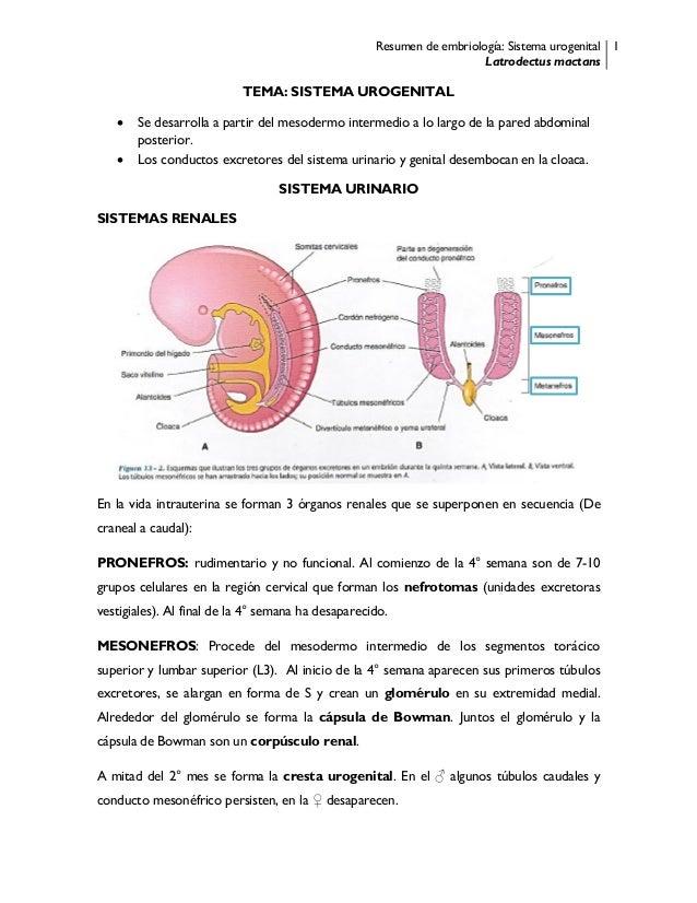 Resumen de embriología: Sistema urogenital Latrodectus mactans 1 TEMA: SISTEMA UROGENITAL  Se desarrolla a partir del mes...