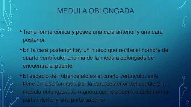 MEDULA OBLONGADA • Tiene forma cónica y posee una cara anterior y una cara posterior. • En la cara posterior hay un hueco ...