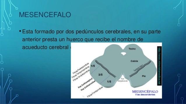 PROSENCÉFALO • Aquí nos encontramos con el diencéfalo ya que el prosecefalo son dos hemisferios que forman el cerebro prop...