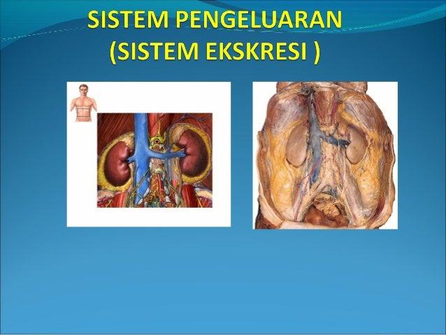 Proses pengeluaran zat-zat sisa metabolisme dari sel, jaringan, dan tubuh disebut ekskresi. Proses pengeluaran (ekskresi) ...