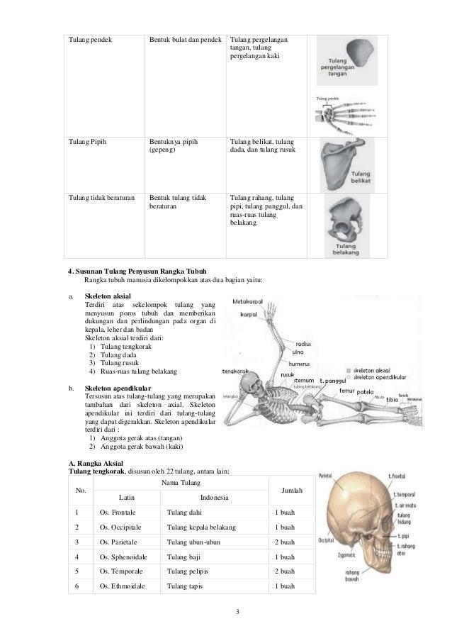 3 Tulang pendek Bentuk bulat dan pendek Tulang pergelangan tangan, tulang pergelangan kaki Tulang Pipih Bentuknya pipih (g...