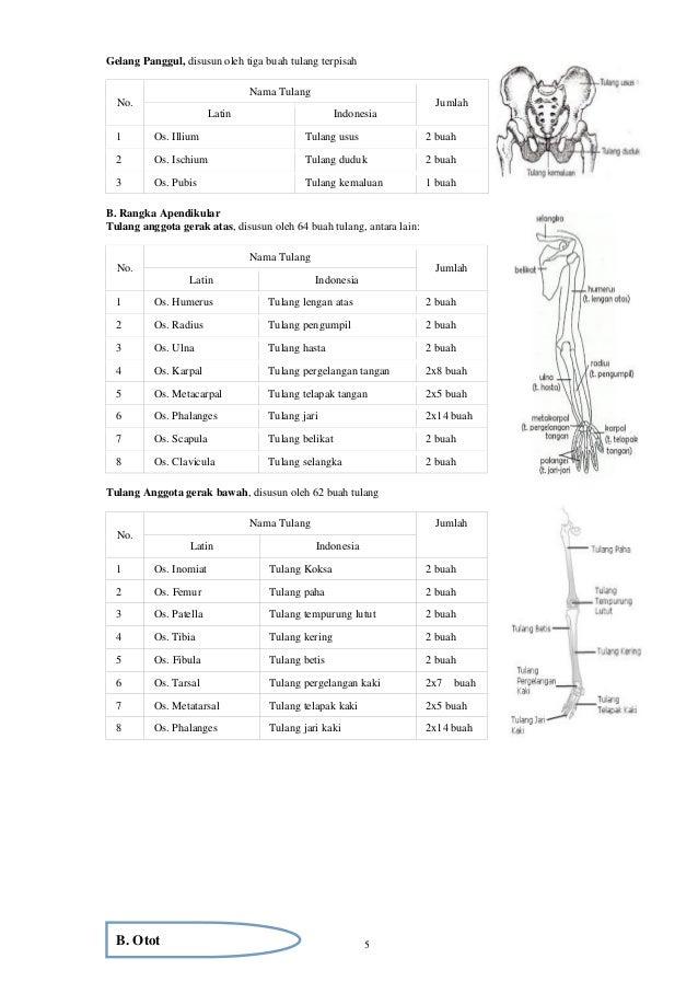 5 Gelang Panggul, disusun oleh tiga buah tulang terpisah No. Nama Tulang Jumlah Latin Indonesia 1 Os. Illium Tulang usus 2...