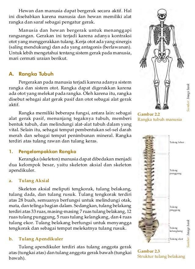 Ilmu Pengetahuan Alam untuk SMP/MTs Kelas VIII22Gambar 2.2Rangka tubuh manusiaSumber:ImagebankHewan dan manusia dapat berg...