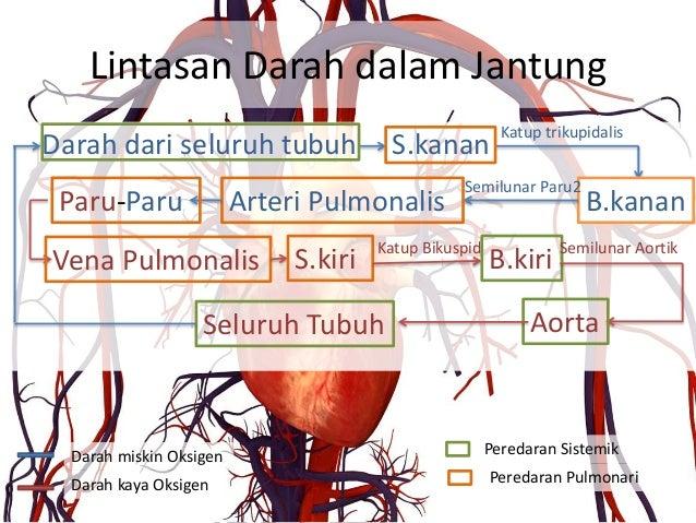Cara Kerja Jantung Dalam Mekanisme Peredaran Darah ...