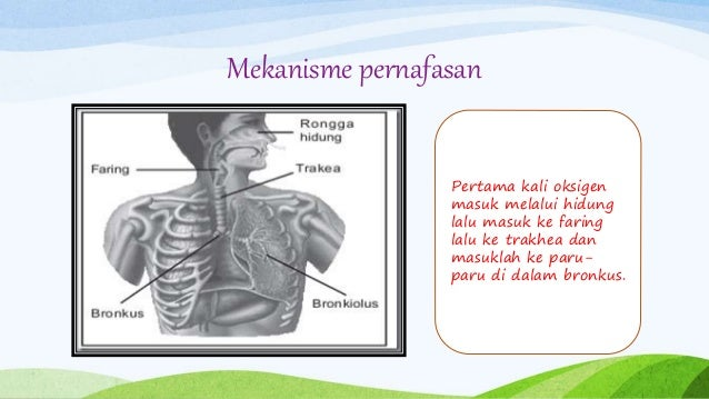 Mekanisme pernafasan Pertama kali oksigen masuk melalui hidung lalu masuk ke faring lalu ke trakhea dan masuklah ke paru- ...