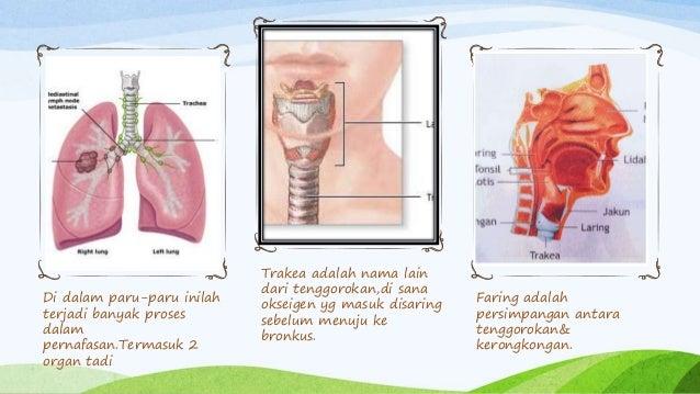 Di dalam paru-paru inilah terjadi banyak proses dalam pernafasan.Termasuk 2 organ tadi Trakea adalah nama lain dari tenggo...